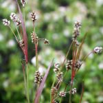 Luzula multiflora late May