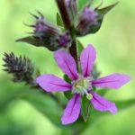 Lythrum salicaria flower detail