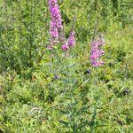 Lythrum salicaria late July