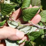 Rubus idaeus whitish bloom on stem