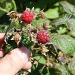 Rubus idaeus fruit, August