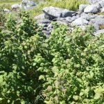 Rubus idaeus plants by stone wall