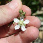 Rubus idaeus flowering, early June