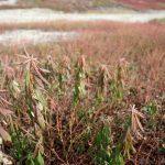 Kalmia angustifolia in November