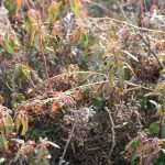 Kalmia angustifolia in fruit, November