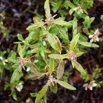 Kalmia angustifolia pre-flower, mid-May