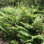 Osmunda cinnamomea mature plants