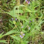 Prunella vulgaris late flower