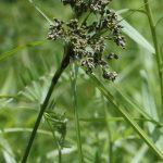 Scirpus atrocinctus inflorescence