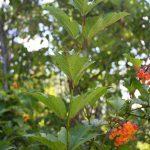 Viburnum opulus var americanum leaf arrangement