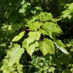 Acer rubrum leaves are toothed