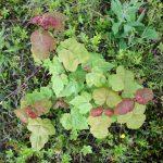 Acer rubrum emerging leaves