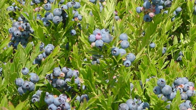 field of wild blueberries