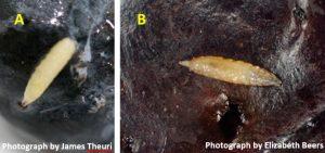Figure 6. Blueberry maggot fly larva (A), spotted wing drosophila larva (B).