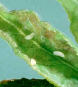 Figure 2. Early (white) and late (orange) instar maggots.