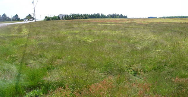 Figure 1. Fineleaf sheep fescue (Festuca filiformis), an introduced perennial grass in Maine wild blueberry fields was resistant to Velpar (group 5), Sinbar (group 5) and Poast (group 1) herbicides and was taking over blueberry fields.