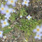 Houstonia caerulea in June