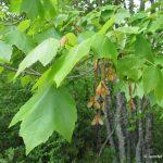 Red maple fruit achenes in June