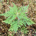 Ambrosia artemisiifolia late July