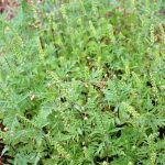 Ambrosia artemisiifolia green inflorescence