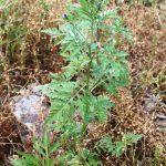 Ambrosia artemisiifolia dark inflorescence