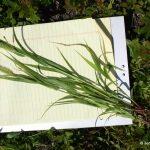 Setaria viridis mid-July