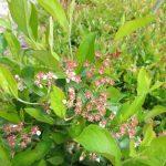 Aronia prunifolia late flower/early fruit