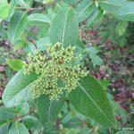 Viburnum nudum flowerbuds