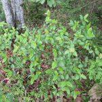 Viburnum nudum edge of blueberry field