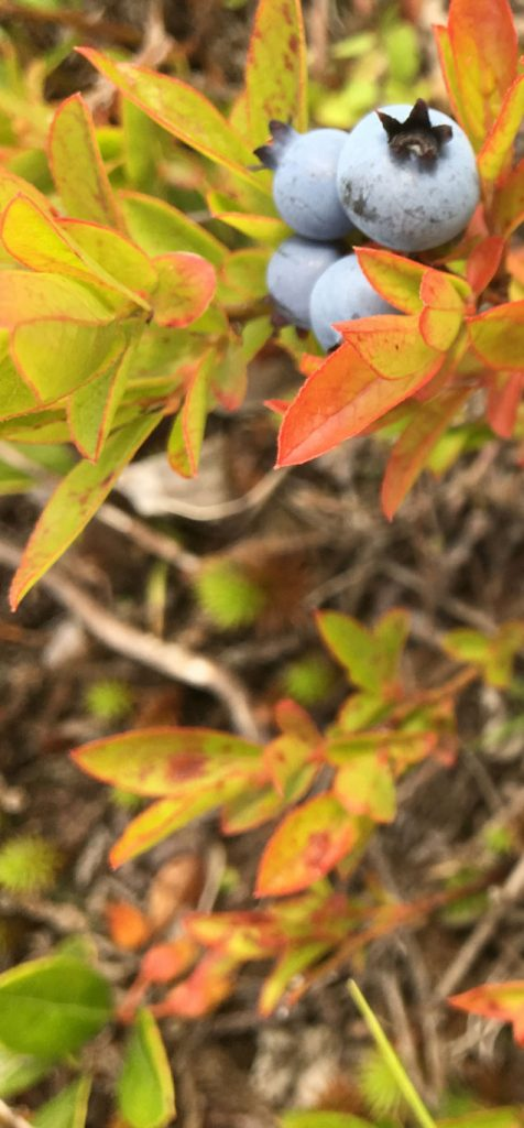 Ripe wild Maine blueberries in field
