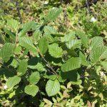 Alnus incana ssp rugosa young plants