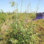 Alnus incana ssp rugosa on edge of blueberry field