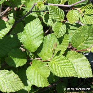 Alnus incana ssp rugosa
