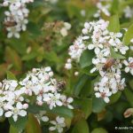 Aronia melanocarpa attracts bees