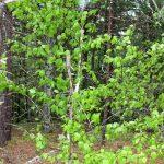Betula papyrifera young tree