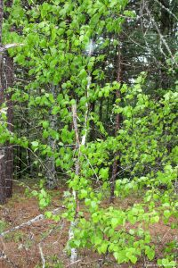 Betula papyrifera young tree