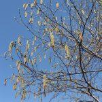 Betula papyrifera flowering in early May