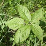 Blackberry palmately compound leaf