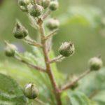 Blackberry pre-flower, early June