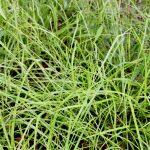 Carex arctata good soil