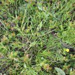 Carex brunnescens leaves