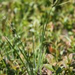 Carex nigra June