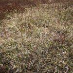 Carex lucorum - late April