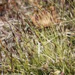 Carex lucorum full flower