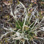 Carex lucorum spring