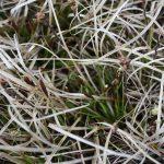 Carex lucorum early flower