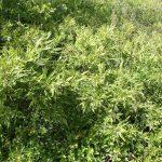 Comptonia peregrina mature bush