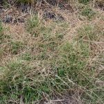 Danthonia spicata mid-May