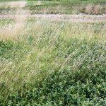 Danthonia spicata late July