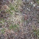 Danthonia spicata in crop field